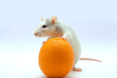 Rat with an orange. On a light background Stock Photography