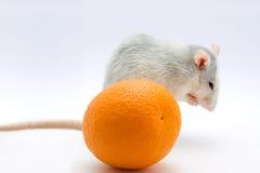 Rat with an orange. On a light background. Focus on an orange Stock Photos