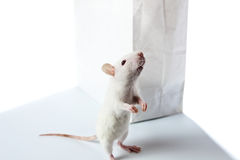 Rat and paper bag Royalty Free Stock Image