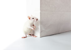 Rat and paper bag Stock Images