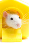 Rat peeping Stock Photo