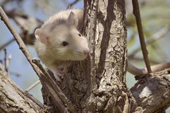 Rat perched on the branch Stock Photography