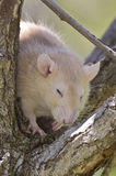 Rat perched on the branch Royalty Free Stock Image
