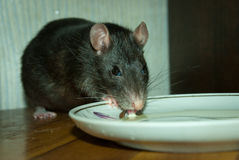 Rat pet drinks milk from a saucer Stock Photo