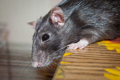 Rat pet Royalty Free Stock Photos