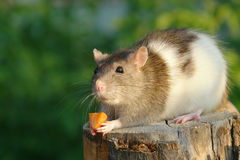 Rat with piece of food Royalty Free Stock Photography