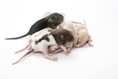 Rat Pile. Pile of baby rats on white background Royalty Free Stock Photo