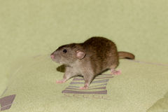 Rat on a pillow Stock Photography