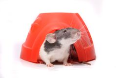 Rat in a plastic dome Royalty Free Stock Image