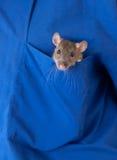 Rat in a pocket Stock Photos