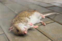 Rat, poisoned poisonous smoke. Lying on the floor Royalty Free Stock Photo
