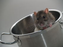 Rat in Pot. The picture shows a rat looking out of a pot Royalty Free Stock Photos