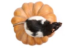 Rat on a pumpkin Royalty Free Stock Photos