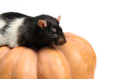Rat on the pumpkin Stock Image