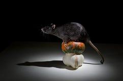 Rat and pumpkin. Stock Photography
