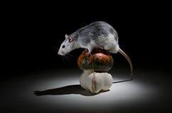 Rat and pumpkin. Stock Photo