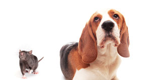 Rat and puppy Stock Photo