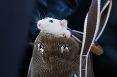 Rat in purse. White dumbo rat inside purse Royalty Free Stock Image