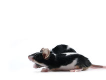Rat race. Two mice running Royalty Free Stock Image