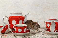 The rat eats near teapot and sugar bowl on countertop at kitchen in an house. The rat Rattus norvegicus eats near teapot and sugar bowl on countertop at kitchen stock photography