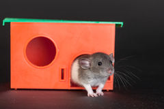 Rat in a red house Stock Image