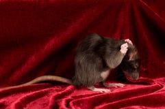 Rat on red velvet background Stock Photo