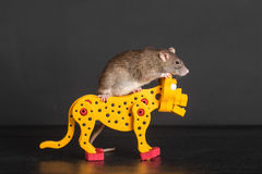 Rat riding on toy leopard Stock Images
