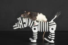 Rat riding on toy zebra Royalty Free Stock Photos