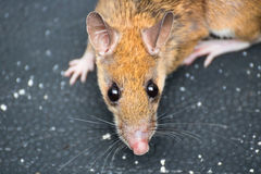 The rat Stock Images
