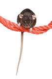 Rat on a rope Stock Photos