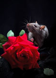 Rat and rose Royalty Free Stock Images
