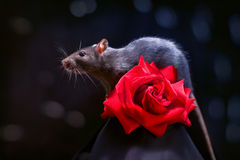 Rat and rose Royalty Free Stock Photos