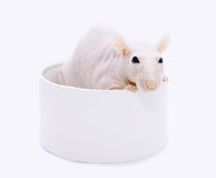 Rat in a round box Stock Photos