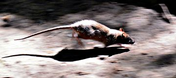 Rat on the run. Rat running in the sunlight Stock Photos