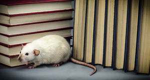 Rat Stock Image