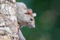 Rat seeking food in garden. Juvenile rat peeping around branch, showing off whiskers Stock Image