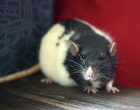 Rat. Sits on the floor Stock Image