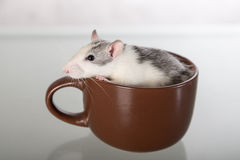 Rat sits in a large cup Royalty Free Stock Photos