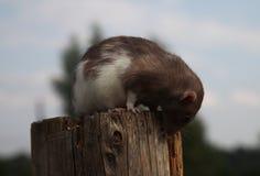 The rat sits on a log stock photos