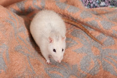 Rat sitting on a blanket Stock Photos