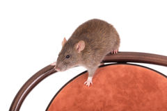 Rat sitting on a chair Royalty Free Stock Photography