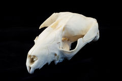 Rat skull Royalty Free Stock Photography