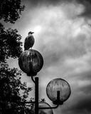 Rat of the sky. Solitary seagull on outdoor lamp post Stock Image