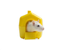 Rat in a small house Stock Image