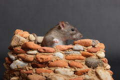 Rat in a small stone fortress Royalty Free Stock Photography