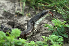 Rat Snake. A black phase rat snake stock photography