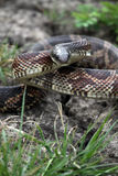 Rat Snake. A black phase rat snake in defensive mode stock photo