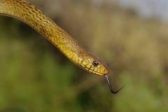 Rat Snake Royalty Free Stock Image