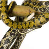 Rat snake Stock Image