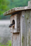 Rat Snake. A black rat snake searching for a meal inside a bird box in a state park in Connecticut Royalty Free Stock Photos